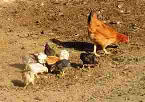 MVC-022S - Some Chickens - 2007.jpg