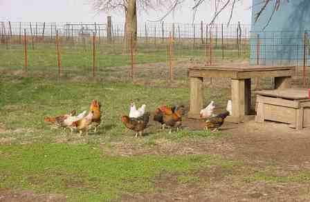 Range chickens for farm fresh eggs - 03-25-2010 - MVC-019S.jpg